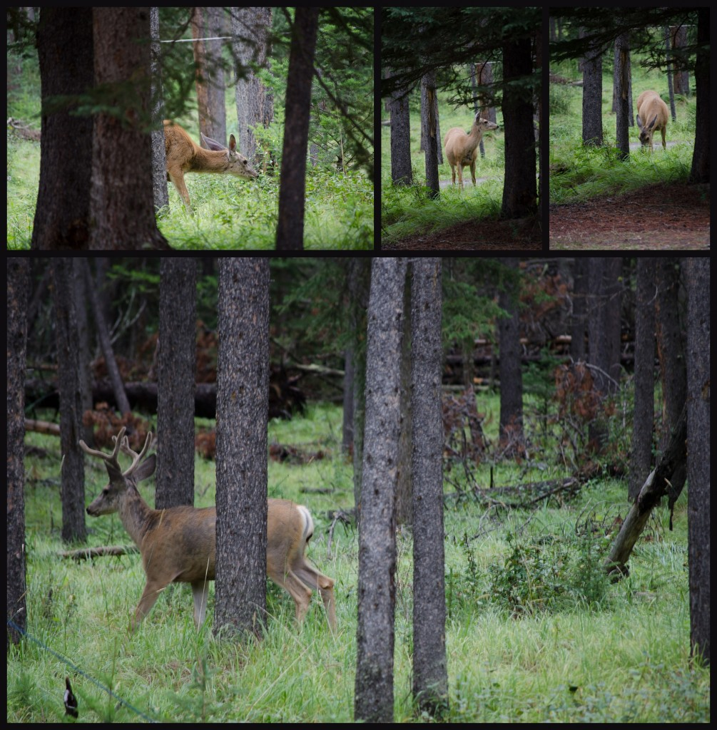 A collage of a deer sighting in a camp site at banff